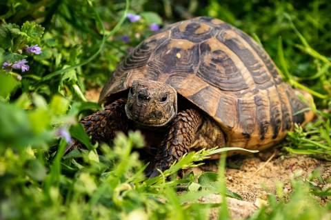 Görög teknős (Testudo hermanni) - Fotó: WenzlerDesign / Pixabay